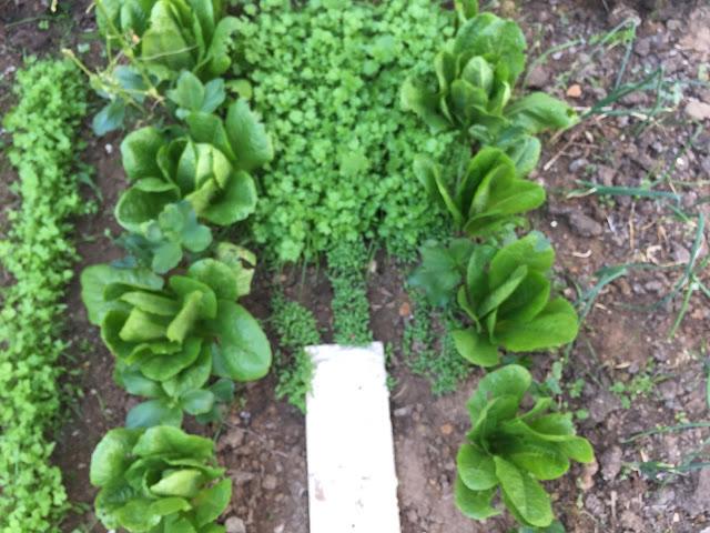 my organic roman salads are growing very well