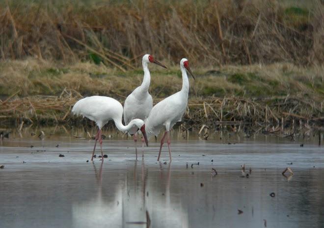 BIRDING - Kyoto, Kansai and Japan: Siberian White Cranes
