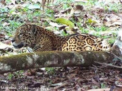 phantera-onca-onça-pintada-jaguar