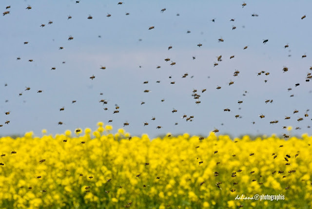 bees in canopy field