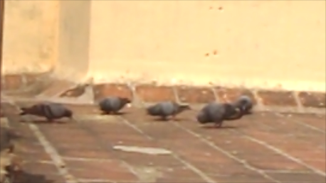 pigeons-on-terrace-173.jpg