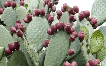 Φραγκοσυκιά: από φυτοφράχτης σε superfood