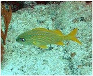 Grunts fish