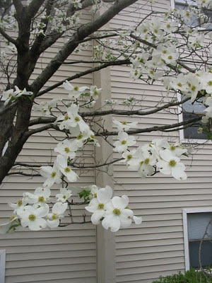 Sope Creek Apartments, Marietta, Georgia, Atlanta, dogwood, flowers, blooms, blossoms, spring,