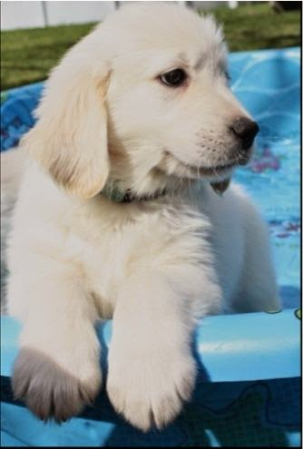 See more White Golden Retriever Puppy. http://cutepuppyanddog.blogspot.com/