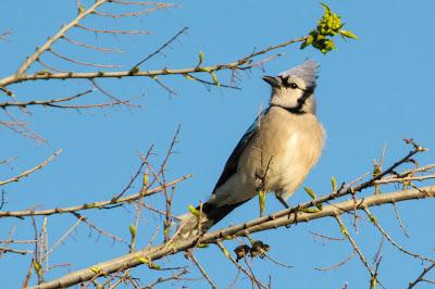 Blue Jay, Rheudasil Park