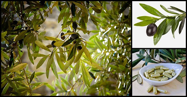 Amazing Health Benefits And Medicinal Uses Of Olive Leaves