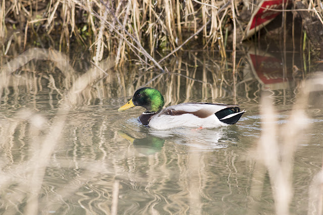 Male Mallard swimming the small brook
