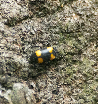 Handsome Fungus Beetle (Eumorphus sp)