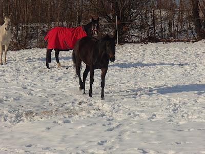 konie, kucyki, jazda konna, pensjonat dla koni, konie w zimie, konie i duży mróz