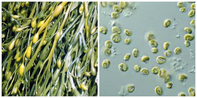 Macroalgae and microalgae. Images by Dozens at en.wikipedia and CSIRO