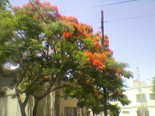 Huertas y jardines en cordoba flamboyant chivato arbol for Jardin de la vereda