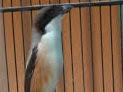 Tips Burung Cendet Nagen Saat Lomba