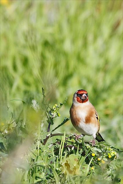 Comment attirer le chardonneret l gant au jardin - Comment attirer les oiseaux dans son jardin ...