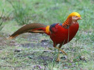 Budidaya Ayam Golden Pheasant Jantan
