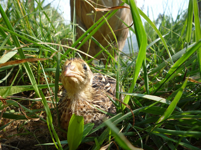 free-range quail chick with mother hen