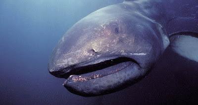 Megamount Shark