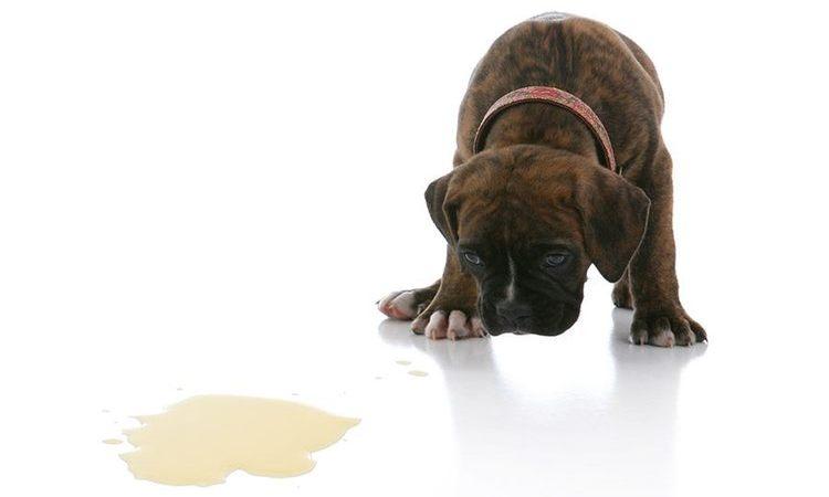 Συμβουλές για την ασήμαντη εκπαίδευση ούρησης του σκύλου σας (νέοι και ηλικιωμένοι)