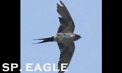 download suara panggil eagle