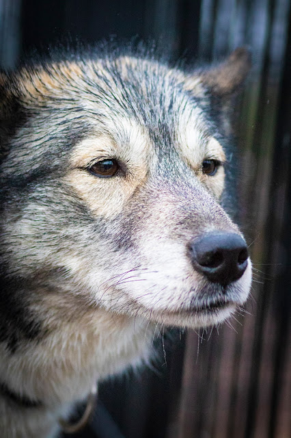 Canile Bearhill husky-Slitta trainata dai cani-Rovaniemi