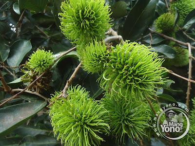 Produksi buah rambutan Subang terus menurun
