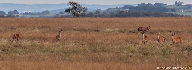 A group of deer graze on the thick moorland grasses.
