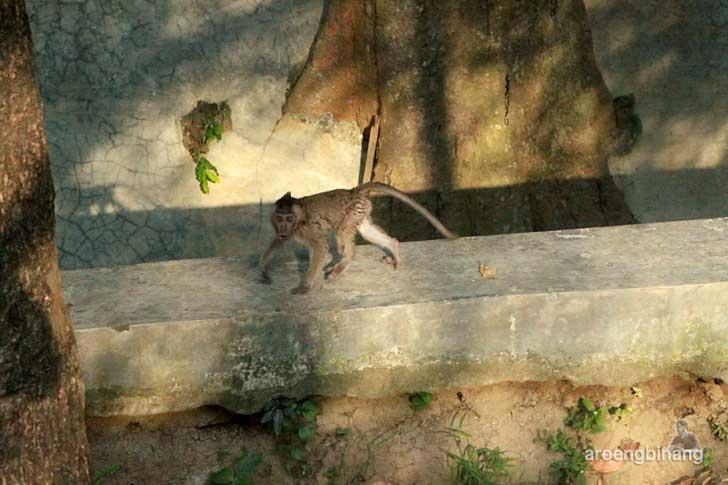 monyet ekor panjang hutan kalijaga cirebon
