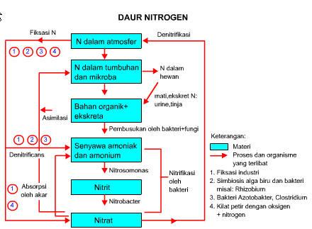 Siklus Nitrogen dan Tahapannya Lengkap - Raden Pedia