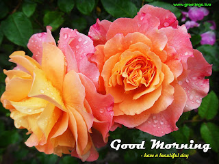 beautiful rose good morning greetings free download