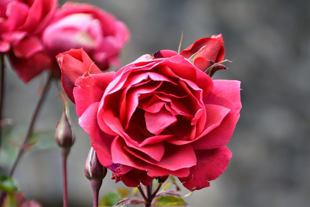 Qorinchanka Monastery Cusco Red Rose