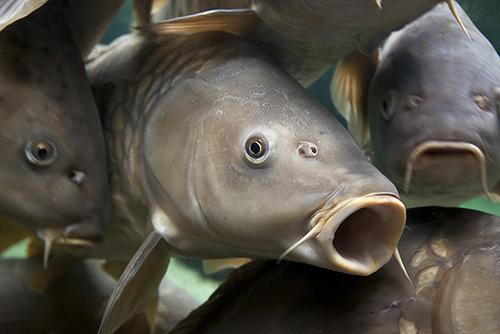 Cara Memancing Ikan Lee Koh