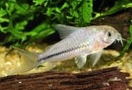 Jenis Ikan Corydoras baderi