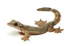 Gecko Terbang
