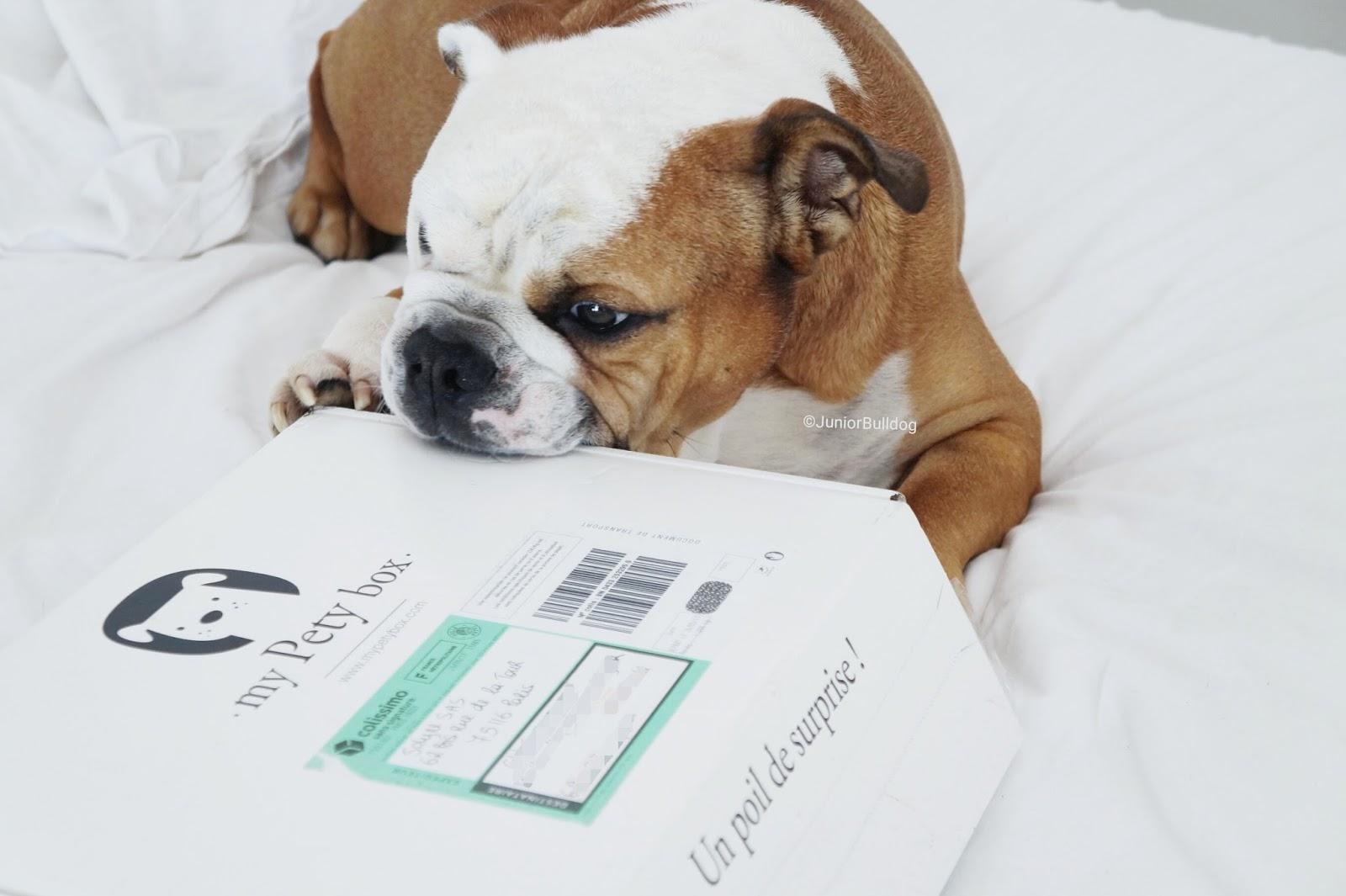 Dog box english bulldog