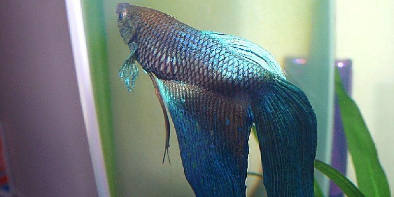 Gambar Jenis Penyakit Ikan Cupang Kembung atau Sembelit ( Swim Bladder Disorder ) Dan Cara Mengobatinya