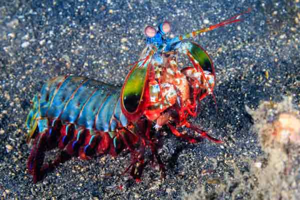 Camarão Mantis