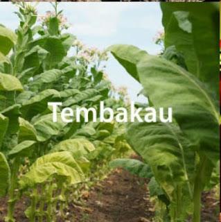 Teknis Budidaya Tanaman Tembakau