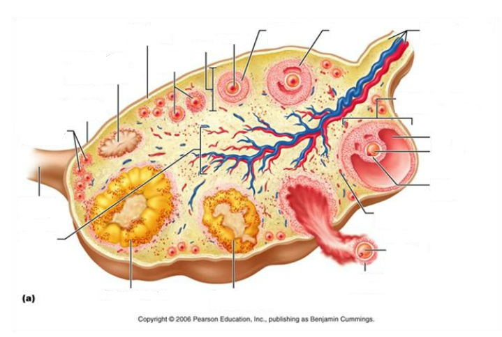 Female Ovary Blank
