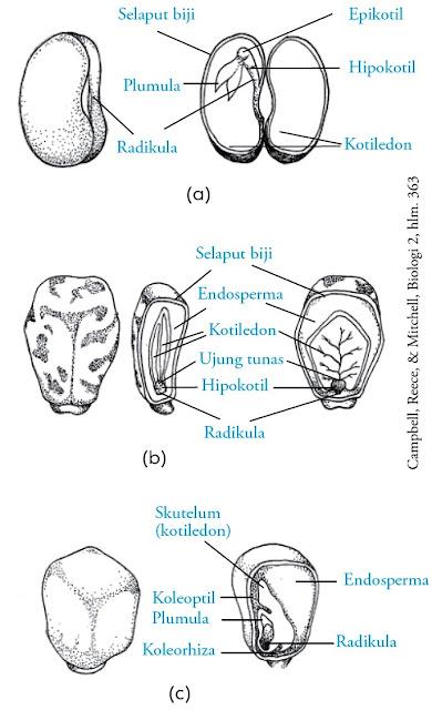 struktur biji buncis jarak jagung