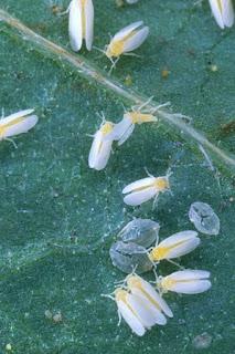 mosca blanca cannabis