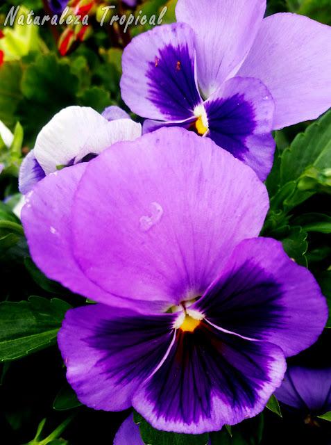 Flor conocida popularmente como Pensamiento, Viola x wittrockiana