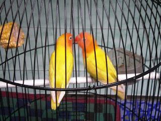 lovebird berjodoh