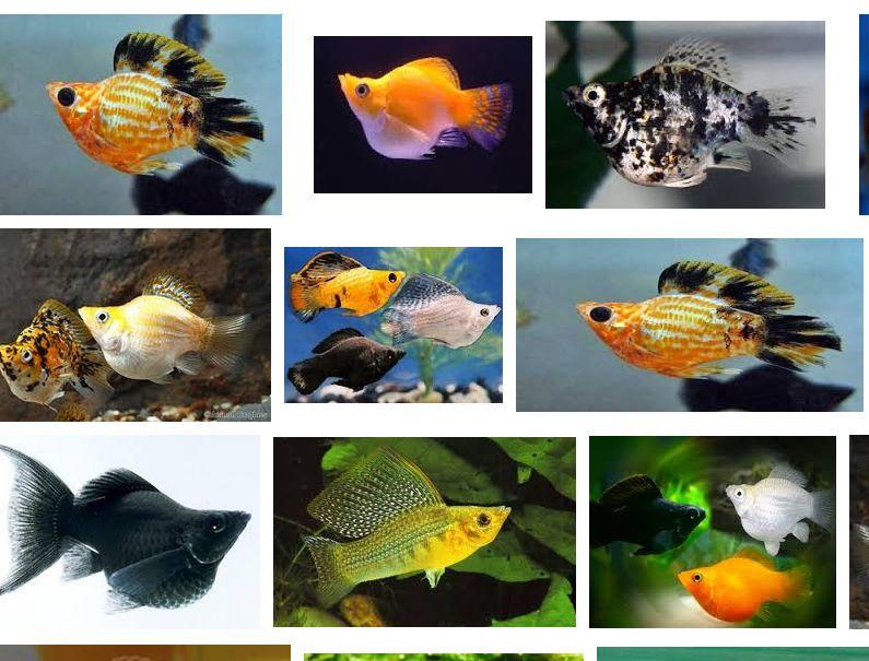 Jenis Ikan Hias dan Harganya Molly Balon