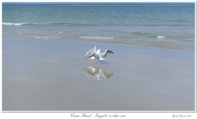 Crane Beach: Seagulls on their own