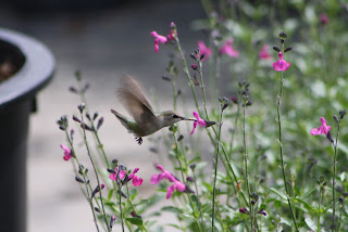 Vivero Growers Nursery Hummingbird on Salvia greggii