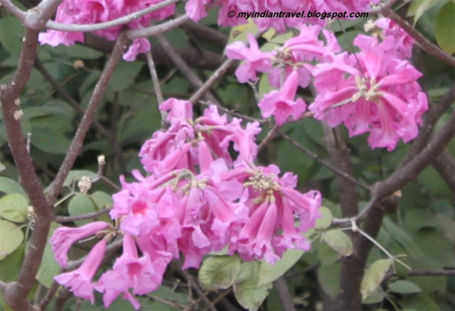 My india travel flowering tree pink trumpet mightylinksfo Choice Image