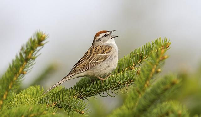 Ontario Birds - Chipping sparrow songbird in a tree