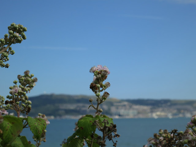 Blackberry flower with Portland Harbour beyond. Dorset