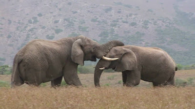 Wild elephants fighting | Wild elephants attack each other | Animal attack