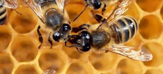 abejas curiosidades 12 - Las primeras abejas - El Apicultor Español: Actitud y Aptitud Apícola